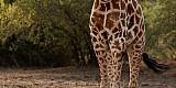 Giraffen-Genomik: Vier gewinnt